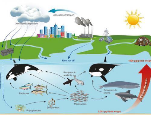 PCB: Umweltgift gefährdet Orcas